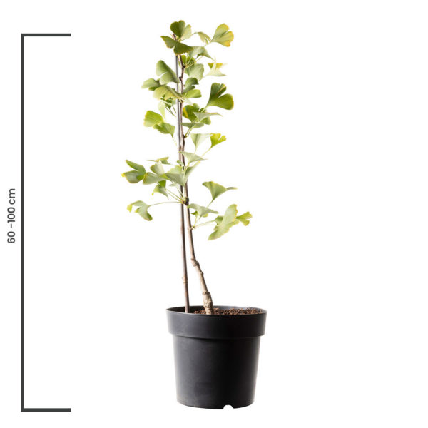 Animal Tree Ginkgo, die schönste Art der Tierbestattung, Baum der Erinnerung