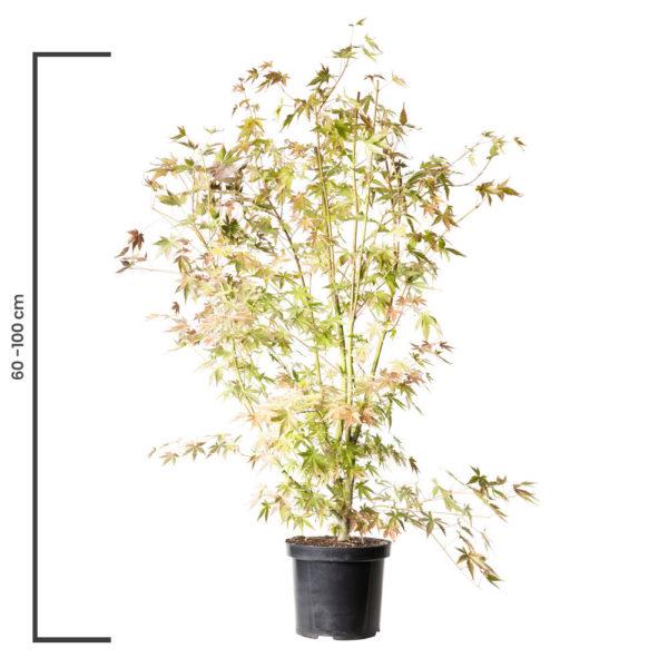 Animal Tree Ahorn, Schlitzahorn, die schönste Art der Tierbestattung, Baum der Erinnerung