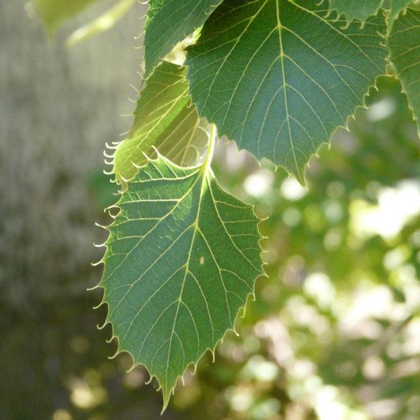 Animal Tree Baum der Erinnerung Linde Blätter