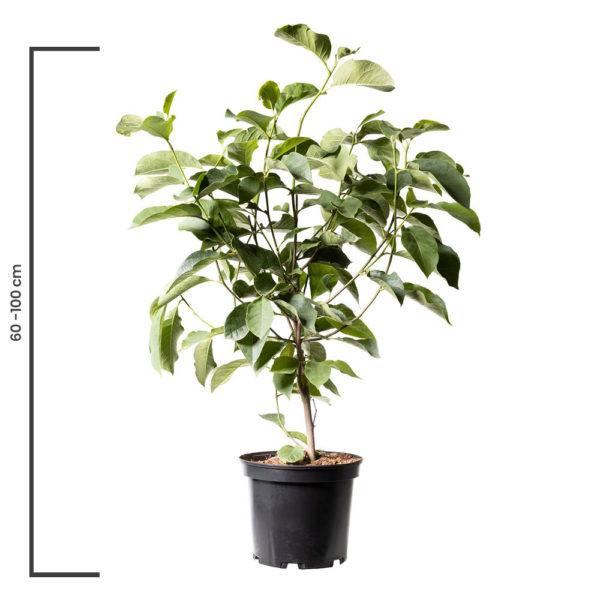 Animal Tree Magnolie, die schönste Art der Tierbestattung, Baum der Erinnerung