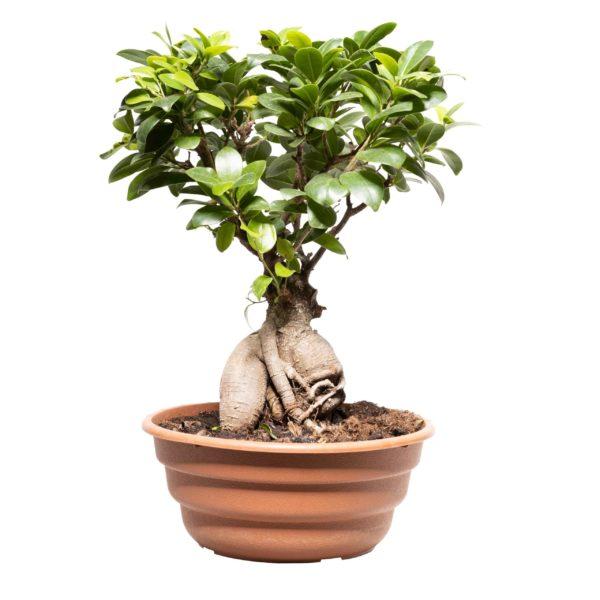 Animal Tree Baum der Erinnerung Indoor Bonsai