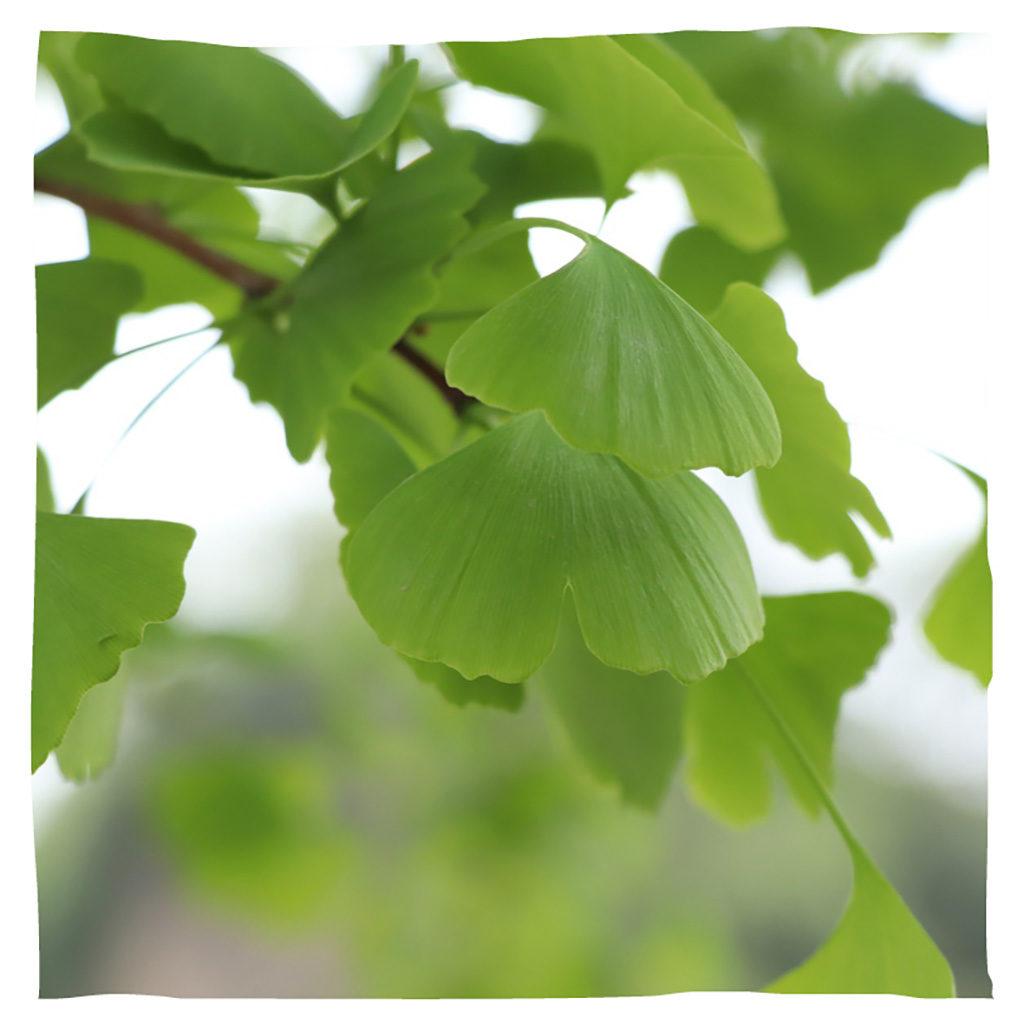 Animal Tree Baum des Erinnerns Ginkgo, Baumbestattung